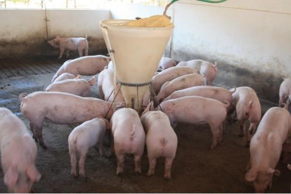 Kết hợp nấu rượu vào mô hình chăn nuôi VAC để phát triển kinh tế, ổn định cuộc sống